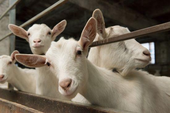 что ест коза