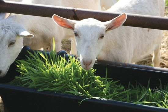 что едят козы