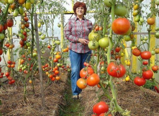 подкормка помидор