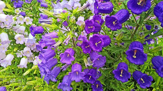 цветок в виде колокольчика