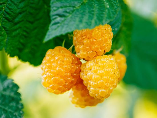 сорта желтой малины