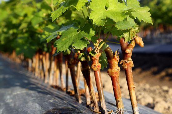 как пересадить виноград на другое место