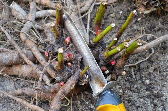 как сажать пионы осенью