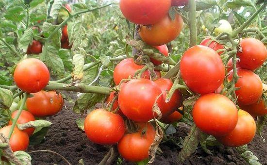 томаты устойчивые к фитофторе для открытого грунта