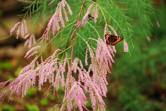 Тамарикс посадка и уход размножение